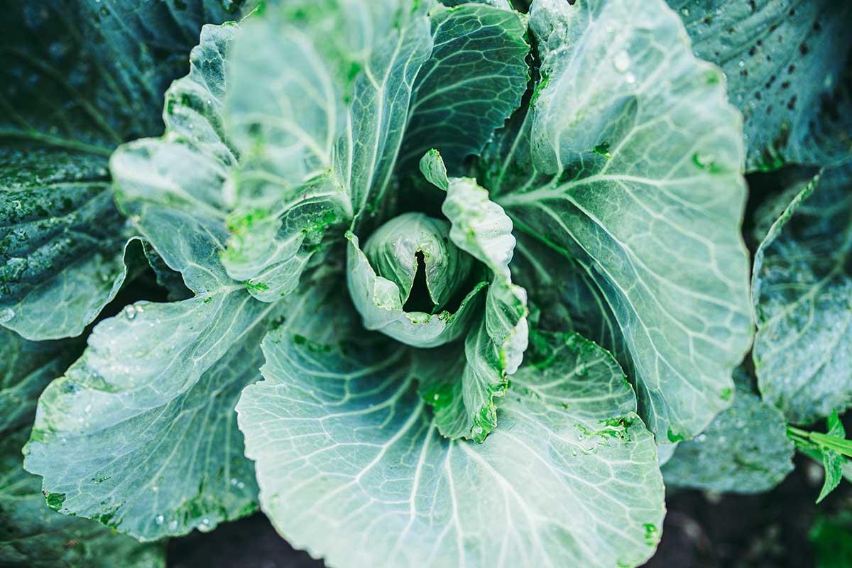 Choux, kale, chou‑fleurs